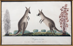 Two kangaroos; Richard Browne; 1819; SF001615