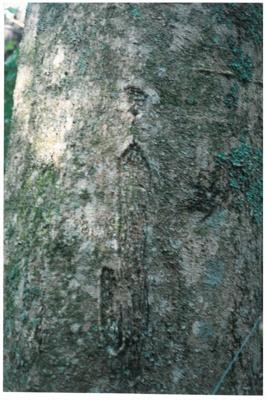Maori bark carvings on Karaka trees; La Roche, Alan; 1990; 2017.084. 26