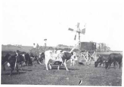 Cattle on Buckland Farm; 2017.019.74