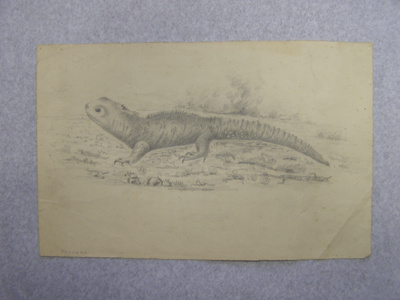 Pencil sketch on paper of a tuatara