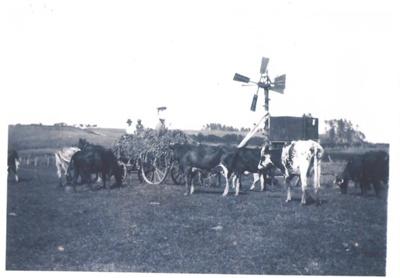 Cattle on Buckland Farm; 2017.019.75