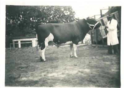 Dufty Bell's bull; c1900; 2016.294.79