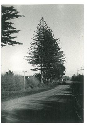 Norfolk Pine; La Roche, Alan; Sept. 1970; 2016.296.90