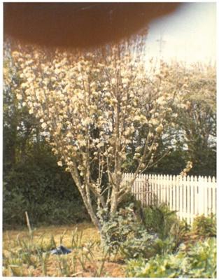 Pear tree in blossom, Hawthorn Farm, 1982; Hattaway, Robert; 1982; 2016.278.64