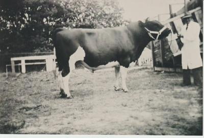 Dufty Bell's bull.; c1900; 2017.584.37