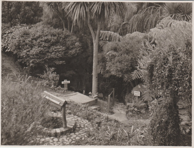 Tree ferns in the Tainui Garden 1947; Breckon, A.N., Northcote; 1947; 2019.089.02