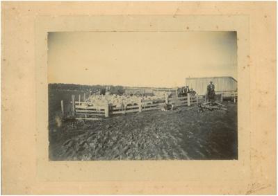 Yarded sheep, c.1900; Walker, G A, Tanner Bros. Ltd., Auckland; c1900; 2016.293.76