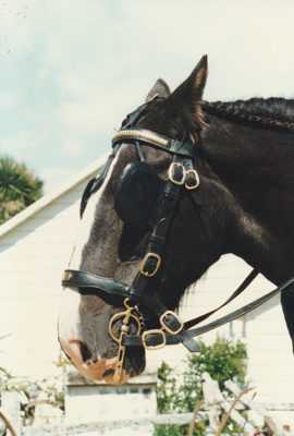 The horse which pulled the trap through the village at the openingof White's Homestead.; La Roche, Alan; 16 March 1997; P2021.74.05