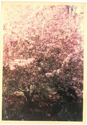 Crab Apple trees at Hawthorn Farm, 1982.; Hattaway, Robert; 1983; 2016.278.70