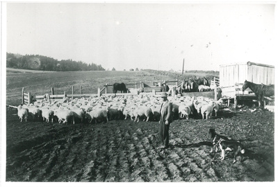 Yarded sheep, c.1900; c1900; 2016.293.78