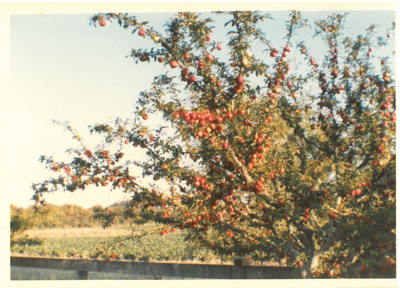 Fruiting plum trees at Hawthorndene.; Hattaway, Robert; 1982-3; 2016.266.49
