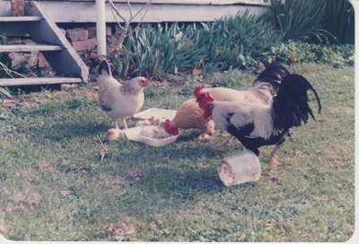 2 hens, 2 roosters and baby chicks; La Roche, Alan; 1/08/1985; 2019.112.01