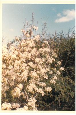 Pear tree in blossom at Hawthorndene.; Hattaway, Robert; 1983; 2016.266.46