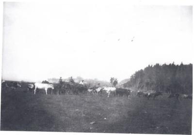 Feeding out cattle on Buckland Farm; 2017.019.77