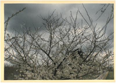 Plum trees in blossom at Hawthorndene.; Hattaway, Robert; 1982; 2016.266.48
