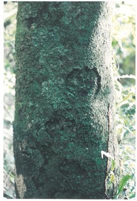 Maori bark carvings on Karaka trees; La Roche, Alan; 1990; 2017.084.24