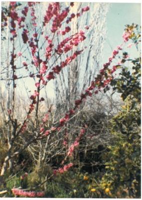 Blossom at Hawthorn Farm.; Hattaway, Robert; 2016.278.76