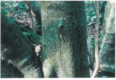 Maori bark carvings on Karaka trees; La Roche, Alan; 1990; 2017.084.27
