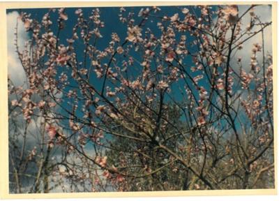 Nectarine blossom, Hawthorn Farm, 1982; Hattaway, Robert; 1982; 2016.278.68