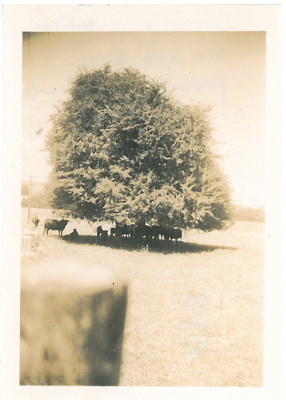 Cows sheltered under a large tree.; Hattaway, Robert; 2017.178.77