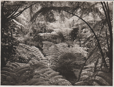 Tree ferns in the Garden Of Memories.; Breckon, A.N., Northcote; 1947; 2019.089.06
