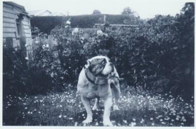 Sarg', the Smallman bulldog; c1960; 2018.419.10