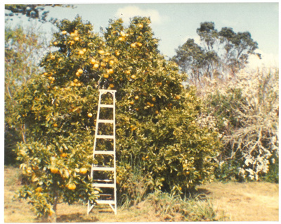 Wheenie grapefruit tree, Hawthorn Farm, 1982; Hattaway, Robert; 1982; 2016.278.65