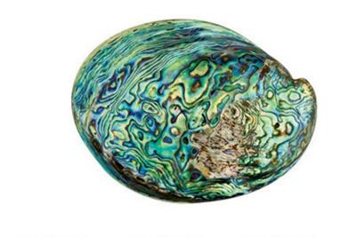 Paua shell, IL2007.44.1