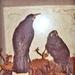 Huia Birds, 7