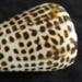 Cone Shell; 1989.7.6