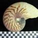 Nautilus Shell; 1989.17.32