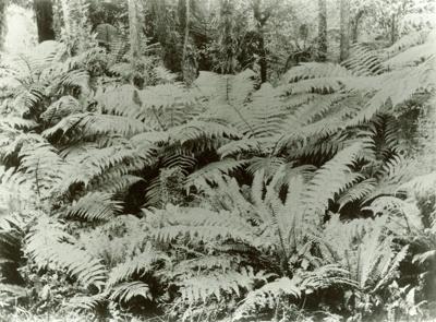 Photograph [Ferns, Pounawea]; [?]; 1910; CT89.1888.7