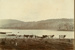 Photograph [Cows on the edge of Catlins Lake]; [?]; [?]; CT79.1091b