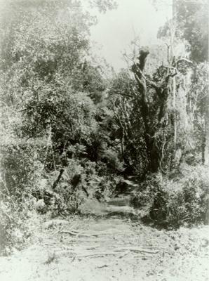Photograph [Pounawea bush]; [?]; January 1910; CT89.1888.4