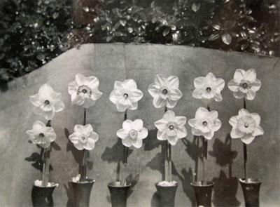 Photograph [Daffodils]; [?]; [?]; CT83.1477a6