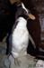 Penguin, erect-crested; 2011.236
