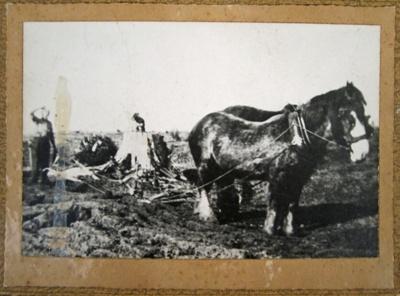 Photograph [Removing matai stump]; [?]; CT04.4590a
