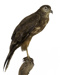 Bird - Australasian Harrier.  RETURNED TO DONOR (TE PAPA) 26/2/2020; 825