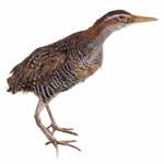 Bird - Banded Rail; 658