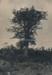 Kauri Tree; 20-22