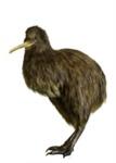 Bird - Kiwi; 655