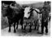 Lead Pair of Bullocks.; 16-337