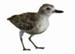 Bird - Dotterel; 659