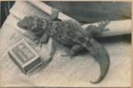 Giant Gecko on Fanal Island.; 18-52