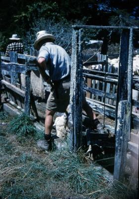 Dipping Sheep; 18-172