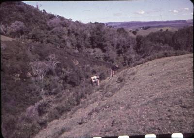 Pulling Ti Tree on Bream Tail Farm; 18-81
