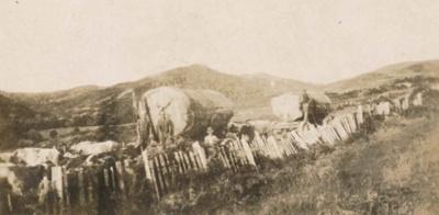 Bullock teams hauling logs; 19-141