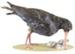 Bird - Oystercatcher; 660