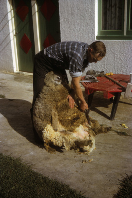 Hand Shearing Sheep; 18-176