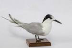 Bird - White Fronted Tern; 828